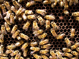 Bees in hive