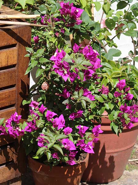 Bougainvollea mini purple
