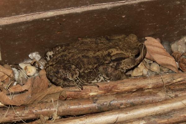 Sleepy toad