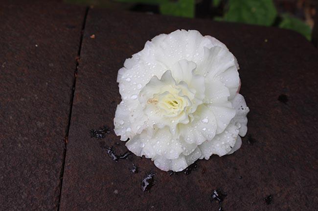 White begonia blossom