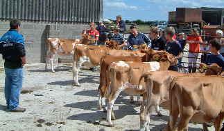 Hurdlebrook cows