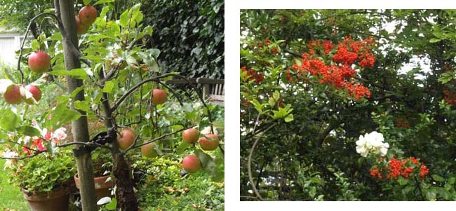 apple and pyracantha