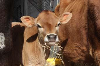 Calf at Food Dairy
